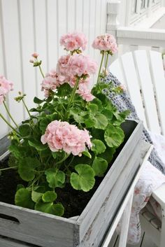 Palest of pink geraniums Summer Flowers, Pink Flowers, Beautiful Flowers, Container Plants, Container Gardening, Pink Geranium, Vibeke Design, Pink Garden, Summer Garden