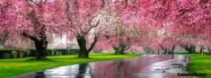 Cherry blossom trees for over shoulder Cherry Blossom Tree, Blossom Trees, Cherry Tree, Garden Trees, Trees To Plant, Spring Cover Photos, Facebook Cover Images, Facebook Timeline, Good Night Everyone