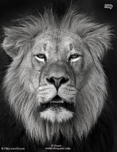 File of the Day August 6th. The King of Africa or better known as South African Lion,  from one of our new Publishers Dryzie https://fliiby.com/file/6rf2s0xpfl5/?utm_content=buffer6ae39&utm_medium=social&utm_source=pinterest.com&utm_campaign=buffer  So take time check Like and Share it with your friends to support this photo: ‪#‎fliiby‬ ‪#‎photooftheday‬ ‪#‎potd‬ ‪#‎photo