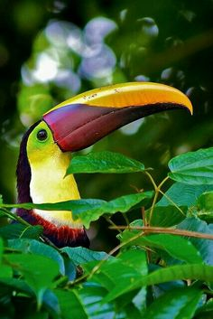 A Toucan in Costa Rica. With tropical jungle, zip lining, fantastic wildlife, and beautiful beaches, Costa Rica is an adventure lovers paradise! Pretty Birds, Love Birds, Beautiful Birds, Animals Beautiful, Cute Animals, Yellow Animals, Birds 2, Jungle Animals, Wild Birds