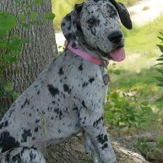 Merle #Great #Dane #puppy