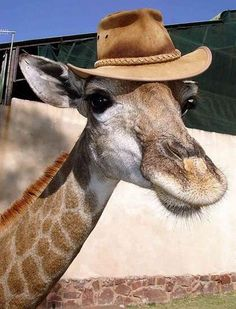 "Giraffe with a hat ~ ""Hey buddy, you're coming to Australia soon?"""