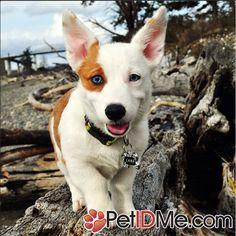 Blue eyed Corgi Dog