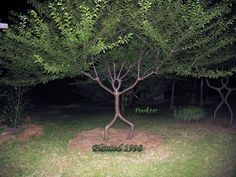 Peter Cook and Becky Northey grow art by shaping the tree during growth.