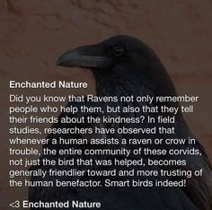 A message from our Raven/crow brothers and sisters☺️ Animals And Pets, Funny Animals, Cute Animals, Smart Animals, Beautiful Birds, Animals Beautiful, Tierischer Humor, Crows Ravens, Wtf Fun Facts