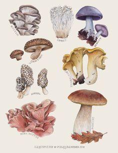 Edible Mushrooms by Melissa Garden for Edible East Bay Magazine - Pilze - Mushroom Drawing, Mushroom Art, Mushroom Hunting, Art And Illustration, Illustrations, Botanical Drawings, Botanical Prints, Edible Mushrooms, Stuffed Mushrooms