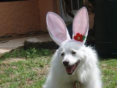 Jack the Easter Eskie