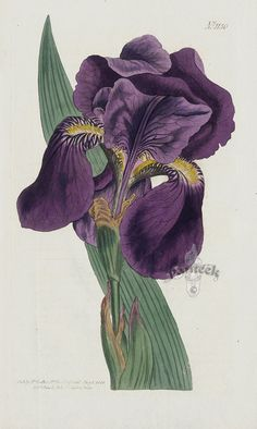 Iris Subbiflora Purple Flag from William Curtis Best Prints Vintage Botanical Prints, Botanical Drawings, Antique Prints, Art Et Nature, Nature Prints, Art Prints, Botanical Flowers, Botanical Art, Plant Illustration