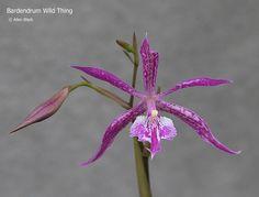 Bardendrum 'Wild Thing' (Epidendrum criniferum x Barkeria lindleyana)