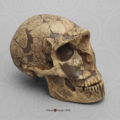 50,000 YA. The Homo neanderthalensis Skull La Ferrassie 1 was discovered in France in 1909 and described that same year by Capitan and Peyrony.