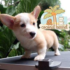 FOR SALE!!! Female corgi!!! Grab it fast❤️ (Bloodline Ina. Champion, Import Argentina, and Impor USA) #welshcorgi #corgi #puppy #puppies #puppy #dogs #petlover #doglover #cute #adorable #anjingdijual #anjingkita #anjingras - coconutkennel