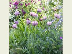 Image result for planting combinations including alchemilla