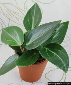Peperomia maculosa How to grow, care for, & maintain peperomia plants https://www.houseplant411.com/houseplant/peperomia-plant-how-to-grow-care-tips