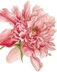 Peony - Natural History Museum greeting card