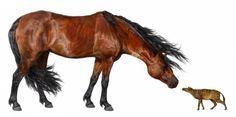 Il y a plus de 55 millions d'années, un cheval primitif n'était pas plus gros qu'un chat... En cause: la hausse des températures à la surface du globe