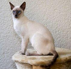 harga kucing anggora dan persia,scottish fold,bengal,hutan,ragdoll,sphynx,anggora murah,kecil,