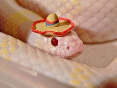 Pictures of cute snakes with hats that will make your day brighter. Not only that, you will know what is the best small pet snakes for beginner. Pretty Snakes, Cool Snakes, Beautiful Snakes, Cute Little Things, Cute Little Animals, Cute Funny Animals, Silly Things, Snakes With Hats, Baby Snakes