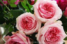 Миранда Дэвид Остин (Miranda David Austin Roses) / Фея розы