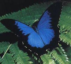 Blue Ulysses Butterfly, Kuranda, QLD, Australia