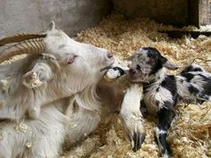 Goat Picture, Baby Goats, Farm Yard, Photo Contest, Animals And Pets, Cute Pictures, Dairy, Happiness, Peace