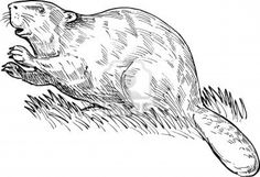 Hand sketched drawing illustration of a European beaver or Eurasian beaver done in black and white.