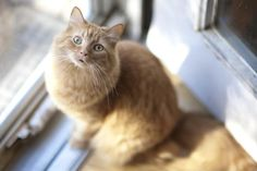 Petfinder  Adoptable   Cat   Domestic Long Hair - orange   Chicago, IL   Shamsie