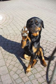 """Acquire fantastic suggestions on """"rottweiler puppies""""xx. They are actually offered for you on our internet site. Cute Puppies, Cute Dogs, Dogs And Puppies, Doggies, Chihuahua Dogs, Funny Dogs, Funny Animals, Cute Animals, Big Dogs"""