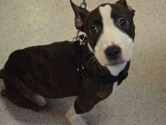 SAFE 5-7-2015 --- Manhattan Center LINCOLN – A1034888  MALE, BROWN / WHITE, BULL TERRIER / STAFFORDSHIRE, 6 mos STRAY – EVALUATE, NO HOLD Reason STRAY Intake condition UNSPECIFIE Intake Date 04/30/2015