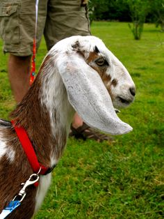 Raising Goats: How to Care for Your Goats