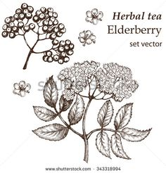 Elderberry Botanical Stock Vectors & Vector Clip Art | Shutterstock