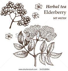 Elderberry Botanical Stock Vectors & Vector Clip Art   Shutterstock