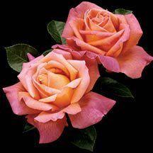 Chicago Peace Hybrid Tea Rose | Hybrid Tea & Grandiflora Sale | Web Specials | Edmunds' Roses