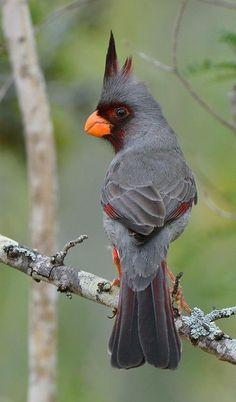 Desert cardinal (Cardinalis sinuatus)