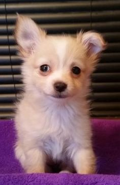 3 / 28 ***BABY ALERT*** Petango.com – Meet Katie, a 2 months 1 day Chihuahua, Long Coat / Dachshund, Miniature Long Haired available for adoption in PHOENIX, AZ Contact Information Address 2901 W Agua Fria Freeway, PHOENIX, AZ, 85027 Phone (623) 492-9045 Website http://halorescue.org/about-ha lo/adoption-center-at-deer-val ley-petsmart.aspx Email info@halorescue.org