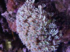 Bright white Pipe Organ Coral