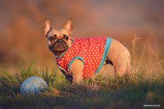 Französische Bulldogge - French Bulldog