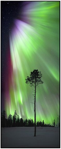 Aurora Borealis and tree