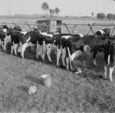 Martien Coppens. Koeien melken, Vught (1970-1974)