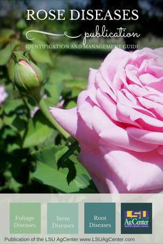 Download this publication. Louisiana's warm, humid weather encourages the development of several serious diseases that can damage rose bushes. This publication describes the major rose diseases found in Louisiana and offers disease management tips. (PDF Format Only) Rose Diseases, Humid Weather, Rose Bush, Management Tips, Lawn And Garden, Louisiana, Roses, Pdf, Warm