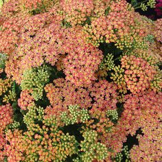 top-notch yarrow, butterfly attractor, and all-around good garden plant, 'Peachy Seduction' yarrow shows off large clusters of warm peachy-pink flowers in midsummer