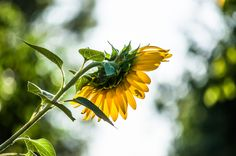 https://flic.kr/p/zZ8Voy | Sunrise & Sunflower