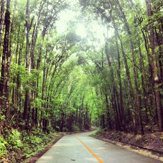 Manmade forest in Bohol, Philippines. 2013