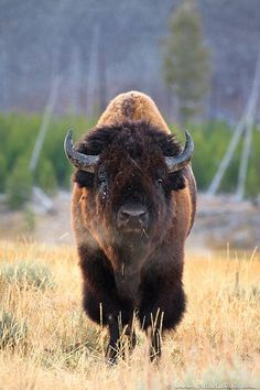 Bison, Yellowstone National Park, Wyoming; photo by Julie Lubick