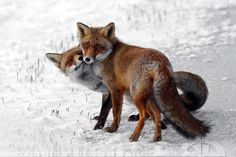 Fox Love by thrumyeye.deviantart.com