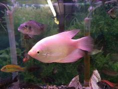 "True Giant Gourami - The Ultimate ""Pet Fish"""