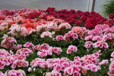 Flowers in Staffas trädgård