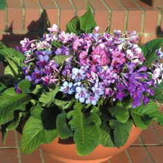 Streptocarpus x hybridus 'Dibley's Dragon Mixed' F1 Hybrid - Perennial & Biennial Seeds - Thompson & Morgan