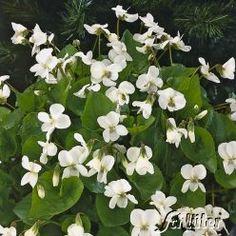 Weißes Pfingstveilchen 'Albiflora'