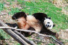 Mei Xiang   all giant pandas like to play 0315 cd 302   Craig Salvas   Flickr