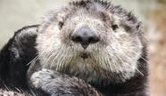 Sea Otter Awareness Day Tacoma, WA #Kids #Events